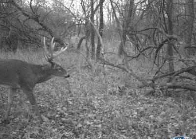 Shuhart Creek Whitetails Ambush Trailcam Deer